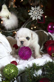 Bulldog puppy with ornament Royalty Free Stock Photos