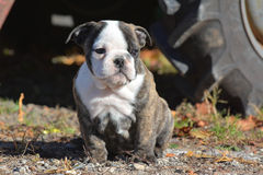 Bulldog puppy Royalty Free Stock Photo