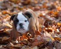 Bulldog puppy outside Royalty Free Stock Image