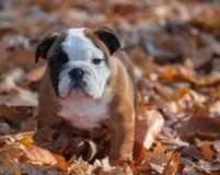Bulldog puppy outside Royalty Free Stock Photo