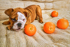 Bulldog puppy playing Royalty Free Stock Photos
