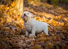 puppy playing outside in autumn stock photos