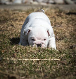 Bulldog puppy playing outside Royalty Free Stock Images