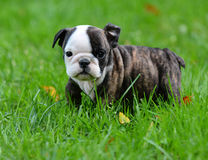 Bulldog puppy. Playing outside 8 weeks old Royalty Free Stock Image
