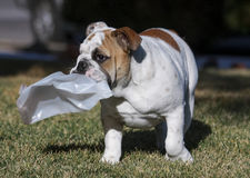 Bulldog puppy playing with a plastic bottle Royalty Free Stock Photo