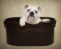 Bulldog puppy portrait. In a tub with a sad face stock photo