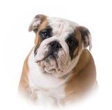 Bulldog puppy portrait Stock Image