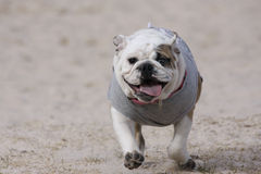 Bulldog puppy running. An English bulldog puppy running in the dirt with a smile on her face stock photo