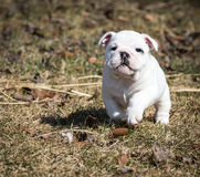 Bulldog puppy running Royalty Free Stock Photo