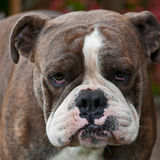 Bulldog puppy with sad expression Stock Photos