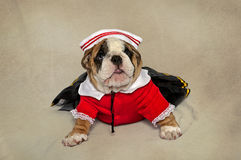 Bulldog puppy in sailor suit facing camera. An English Bulldog puppy dressed up in her little sailor suit facing the camera royalty free stock photos