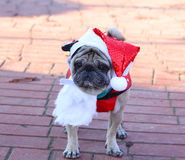 Bulldog puppy with Santa costume and hat during Christmas. Bulldog puppy with Santa costume and hat Royalty Free Stock Photography