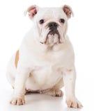 Bulldog puppy sitting Royalty Free Stock Photo