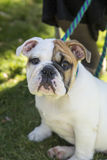 Bulldog puppy sitting for her picture Stock Images