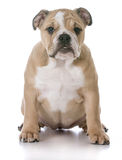 Bulldog puppy sitting Stock Images