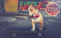 Bulldog puppy on skateboard Royalty Free Stock Photography