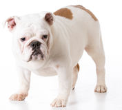 Bulldog puppy standing Stock Images