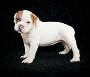 Bulldog Puppy Stock Images
