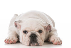 Bulldog puppy. Tired english bulldog puppy laying down stretched out on white background stock image