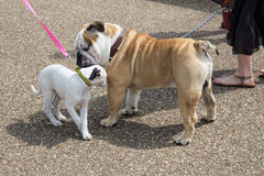 Bulldog and a puppy, two dogs, greeting each other. A bulldog and a puppy, two dogs, greeting each other by sniffing whilst out on a walk on leashes Royalty Free Stock Photography
