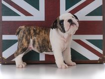 Bulldog puppy with union jack. Young male bulldog puppy standing with union jack behind him Royalty Free Stock Image