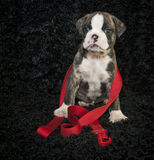 Bulldog Puppy Waiting for His Walk Royalty Free Stock Photo