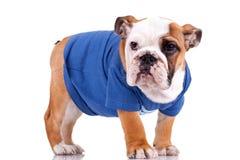 Bulldog puppy wearing nice clothes royalty free stock photos