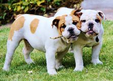 Bulldog Pups Stock Photo