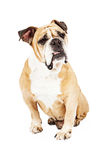 Bulldog With Puzzled Look Stock Image