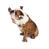 Bulldog raising paw to shake. A large friendly Bulldog sitting against a white backdrop raising a paw to shake or hogh five Royalty Free Stock Image