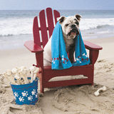 Bulldog on red adirondack chair on beach. Homeless dog from bulldog rescue takes a day off and relaxes in his adirondack chair complete with bone treats Royalty Free Stock Image