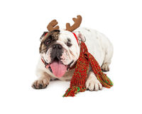 Bulldog With Reindeer Ears and scarf Stock Image