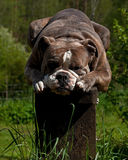 Bulldog resting on a pedestal Stock Images