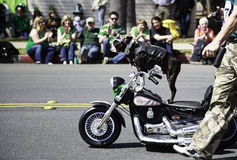 Bulldog riding motorcycle at St. Patrick's Day Parade Royalty Free Stock Photos