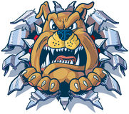 Bulldog Ripping out of Metal Background Vector Cartoon. Vector cartoon clip art illustration of an angry bulldog with a spiked collar ripping, punching, or royalty free illustration