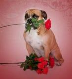 Bulldog in ritratto di amore Fotografie Stock Libere da Diritti