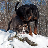 Bulldog and rottweiler in snow Stock Images