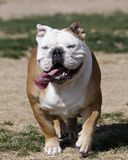 Bulldog running in the grass. An English bulldog running in the lawn with her eyes closed royalty free stock image