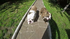 Bulldog Running in Slow Motion. Two eanglish bulldog running at the park stock video footage