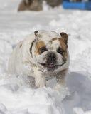 Bulldog running through the snow Royalty Free Stock Photos