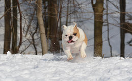 Bulldog running in the snow Royalty Free Stock Images
