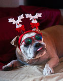 Bulldog's Christmas. A cute bulldog wants to celebrate Christmas with his family Royalty Free Stock Image