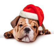 Bulldog with Santa Hat Stock Photo