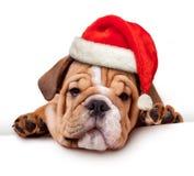 Bulldog with Santa Hat Stock Photo