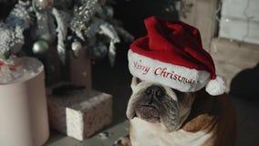 Bulldog in santa hat on. Xmass stock video footage