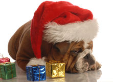 Bulldog scrooge at christmas Royalty Free Stock Photo