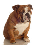 Bulldog sitting Stock Photo
