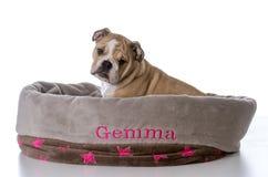 bulldog sitting in dog bed Stock Photos