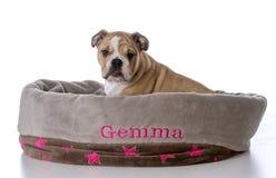 bulldog sitting in dog bed Stock Photo