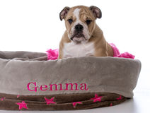 bulldog sitting in dog bed Stock Images